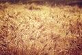 Beautiful wheat field background Royalty Free Stock Photo