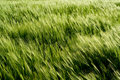 Beautiful wheat field detail Stock Images