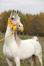 Beautiful white arabian stallion with nice halter show in autumn Royalty Free Stock Images
