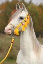 Beautiful white arabian stallion with nice halter show in autumn Stock Photography