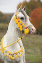 Beautiful white arabian stallion with show halter nice in autumn Stock Photo