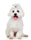 Beautiful white Bichon Maltese Royalty Free Stock Photos