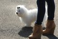 Beautiful white bichon maltese with feet of the woman Stock Photo