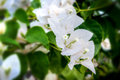 Beautiful white bougainvillea flowers closeup. Blue and vivid colors, green soft blurry background. Royalty Free Stock Photo