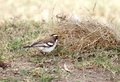 A beautiful white browed sparrow weaver taking straw for making nest is sized bird Royalty Free Stock Image