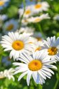 Beautiful white camomiles are growing in a meadow, close-up Royalty Free Stock Photo