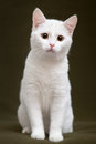 Beautiful white cat with yellow eyes Royalty Free Stock Photo