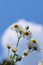 Beautiful white  chamomile flowers over blue sky background Royalty Free Stock Photo