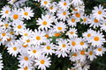 Beautiful white chamomile in the garden Stock Image