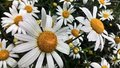 Beautiful white daisies in a field in summer Royalty Free Stock Photo