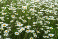 Beautiful white daisies in the wind. Many wild meadow of daisy flowers. Summer day after rain. Seasons, ecology, green Royalty Free Stock Photo