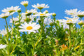 Beautiful White daisy flower with sky blue. Royalty Free Stock Photo