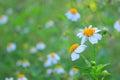 Beautiful white daisy flowers Royalty Free Stock Photo