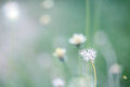 Beautiful white dandelion flowers close up close up of dandelio with abstract color and shallow focus Royalty Free Stock Photography