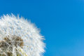 Beautiful white dandelion seeds against clear sky Royalty Free Stock Photo