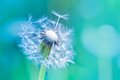 Beautiful white dandelion with seeds on blue background Royalty Free Stock Photo