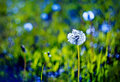 Beautiful white dandelion with seeds on blue green background Royalty Free Stock Photo