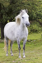 A Beautiful White Dartmoor Pony, Devon, England Royalty Free Stock Photography