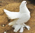 Beautiful white dove Stock Image