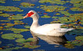 Beautiful white duck on lake Royalty Free Stock Image