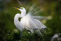 Beautiful white egret in breeding plumage fluffs up his feathers on display Royalty Free Stock Photo