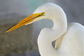 Beautiful white egret florida nature parks Stock Photography