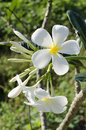 Beautiful white flower in thailand lan thom frangipani champa Royalty Free Stock Images