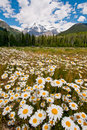 Beautiful white flowers and mountain Stock Photography