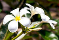 Beautiful white frangipani flowers on dark background Stock Photography