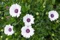 Beautiful white gerbera flower on nature green background Royalty Free Stock Photo