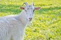 Beautiful white goat on a sunny meadow Royalty Free Stock Photography