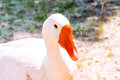 Beautiful white goose closeup looking into the camera live a bird directly Stock Photography