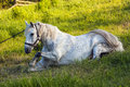 Beautiful  white horse lying in  grass Royalty Free Stock Photo