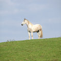 Beautiful white horse standing on horizon in autumn Royalty Free Stock Images
