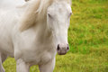 Beautiful white horse with striking blue eyes Royalty Free Stock Photo