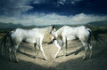 Beautiful white horses Stock Images