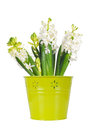 Beautiful white hyacinth flower in a green bucket, white background Royalty Free Stock Photo
