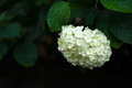 Beautiful white hydrangea blooming in the garden after the rain.
