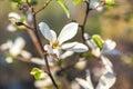 Beautiful white jasmine flower on branch Royalty Free Stock Photo