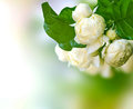 Beautiful white jasmine flowers blur background Stock Photo