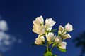 Beautiful white jasmine flowers on bright blue sky background a branch of against a Stock Photography