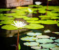 Beautiful white lotus in a tropical garden pond Royalty Free Stock Images