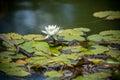 Beautiful white Lotus