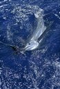 Beautiful white marlin real billfish sport fishing Royalty Free Stock Photo
