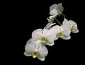 Beautiful white orchid branch isolated on black background close Royalty Free Stock Photo