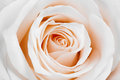 Beautiful white rose. Royalty Free Stock Photo