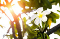 Beautiful white scented blooms with yellow centers of exotic tropical frangipanni species plumeria plumeria flowering in summer ad Royalty Free Stock Photo