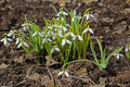 Beautiful white spring flowers snowdrops galanthus nivalis russia Stock Photo