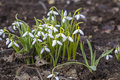 Beautiful white spring flowers snowdrops galanthus nivalis russia Royalty Free Stock Image