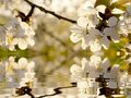 Beautiful white Spring tree flowers Royalty Free Stock Photos